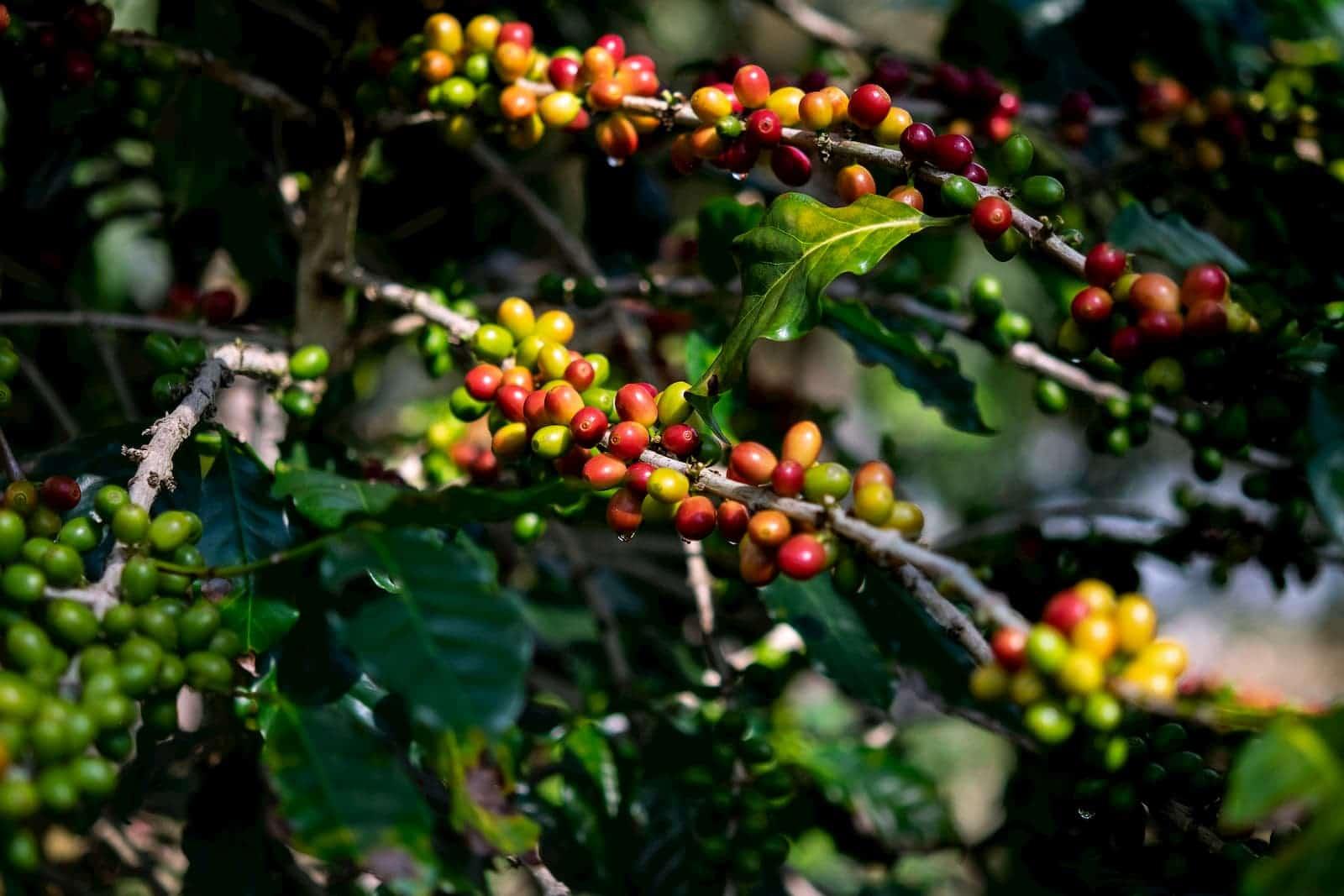 cafés prontos para colheita