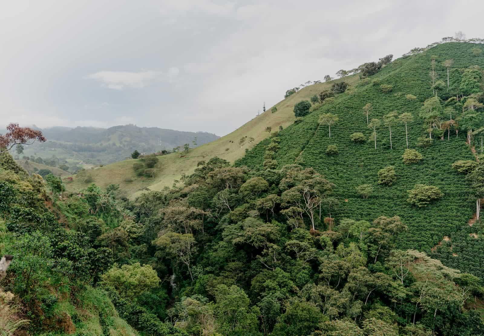 fazenda plantação de café