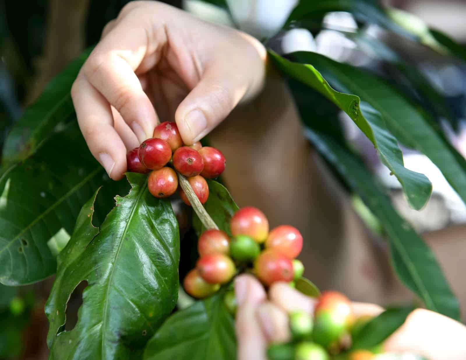 colhendo os grãos do fruto de café