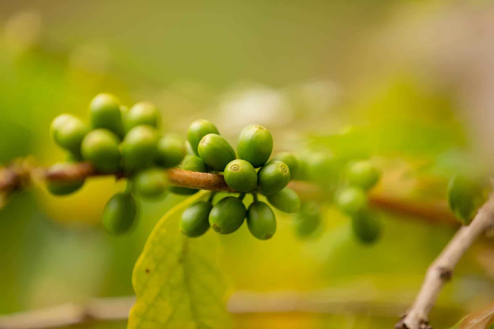 plantação dos grãos de café